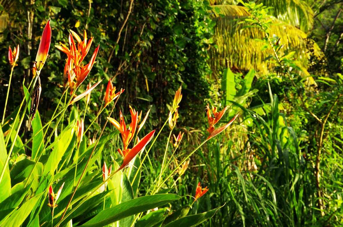 Bien-aimé Fleurs de balisier orange - Location-Bungalow-Guadeloupe.fr US73