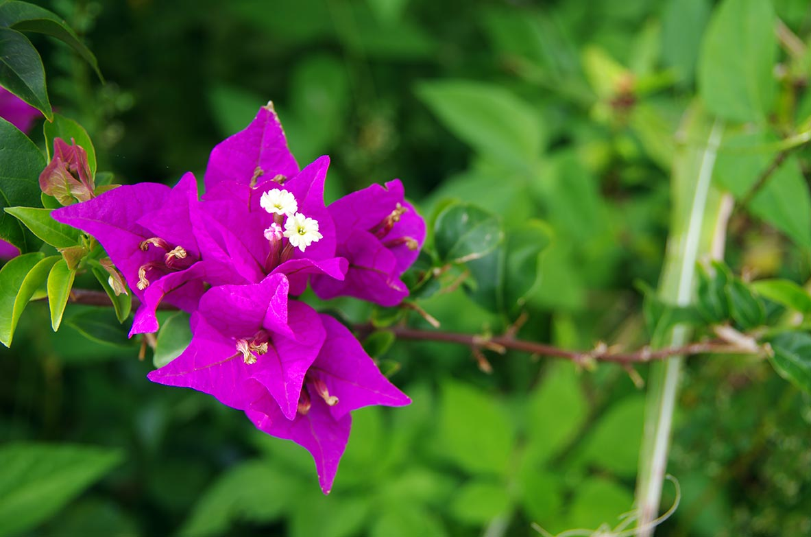 Berühmt Fleurs des îles, l'incontournable hibiscus - Location-Bungalow  CY24