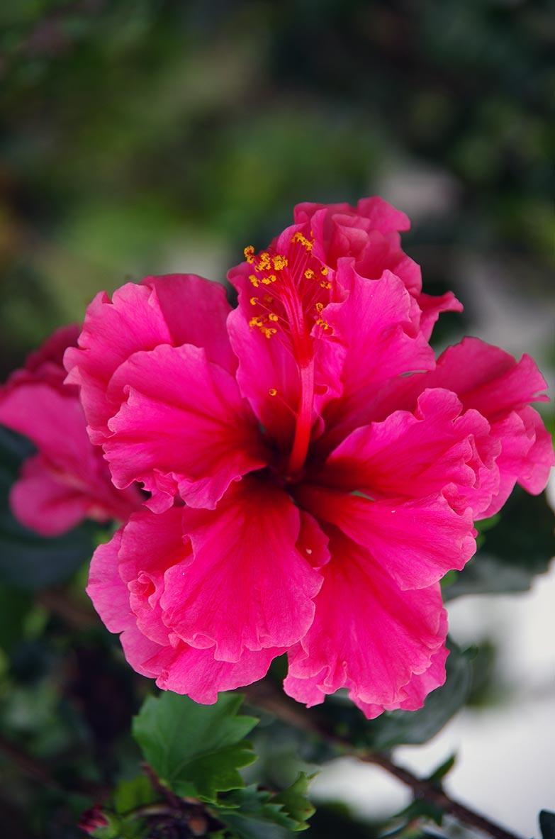 Fleurs des les l 39 incontournable hibiscus location for Bouquet de fleurs guadeloupe