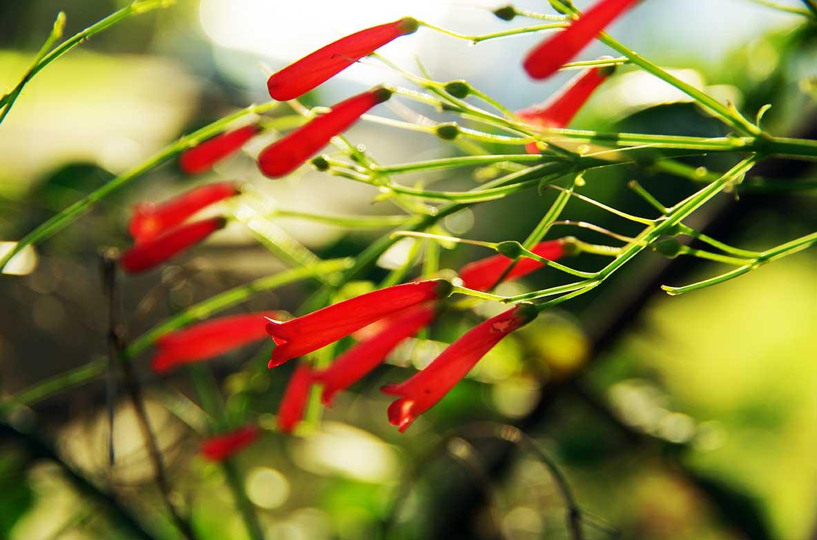 Bien-aimé Fleur clochette rouge - Location-Bungalow-Guadeloupe.fr US73